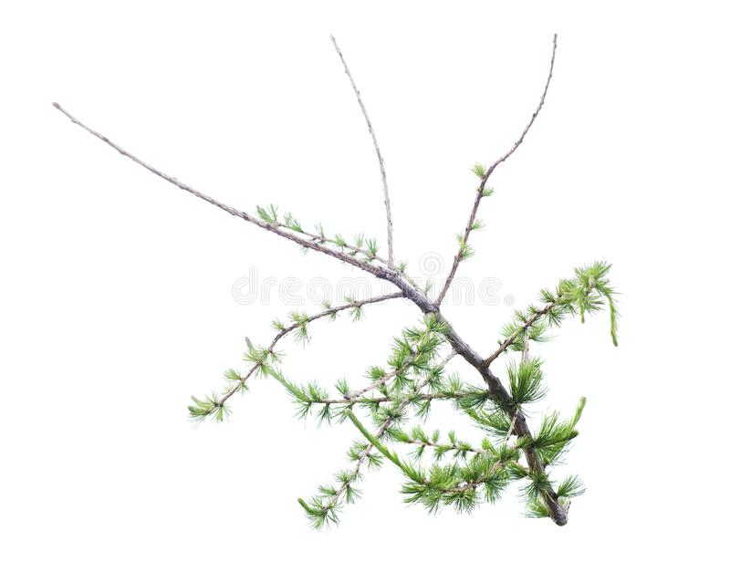 Green bush or branch. On white background stock photo