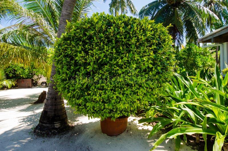 Green bush in bucket. Green round bush in bucket stock images