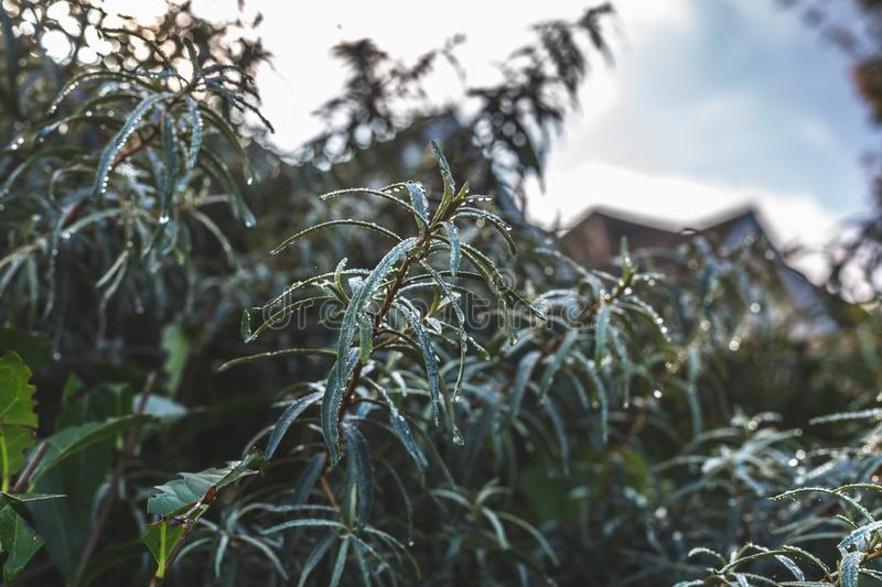 Green bush in clear raindrops. Green growing bush with waterdrops on foliage in soft daylight, Oxford, United Kingdom stock images