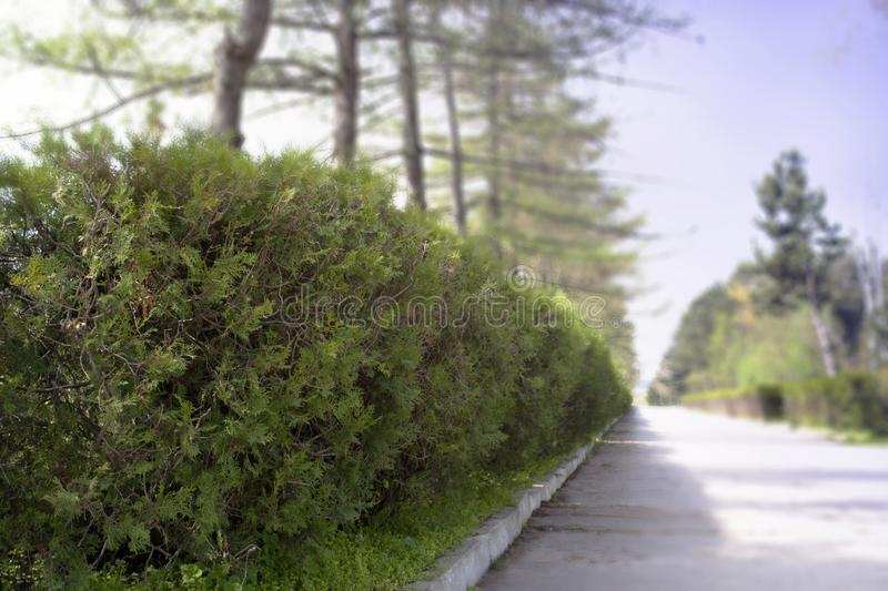 Green bush close-up on park background. The green park ang rood. stock photos