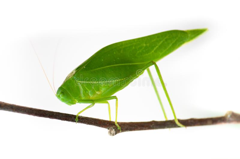Green bush cricket, katydid or long-horned grasshopper insect family Tettigoniidae attached to a tree branch wooden stick macro. Closeup photo isolated on white royalty free stock image