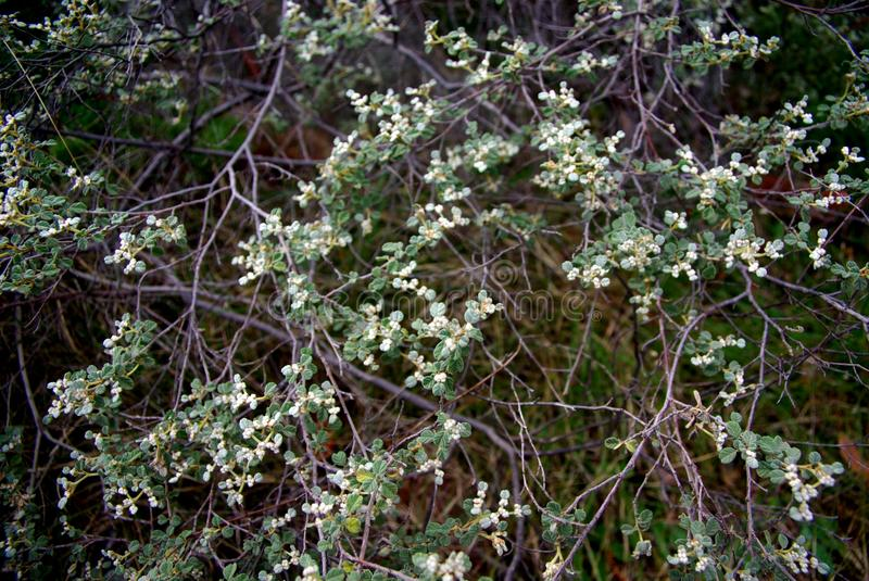 Green Bush. Delicately flowering green bush in the Mount Remarkable National Park, lower Flinders Ranges, South Australia royalty free stock photos
