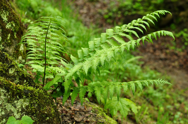 Green bush of fern in the dark forest. royalty free stock photos