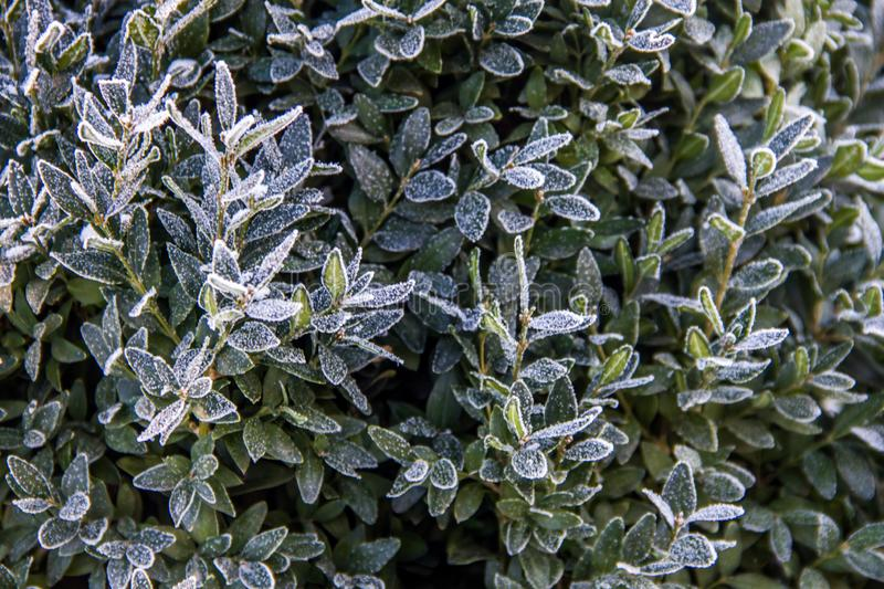 Green Bush in frost. In winter texture royalty free stock image