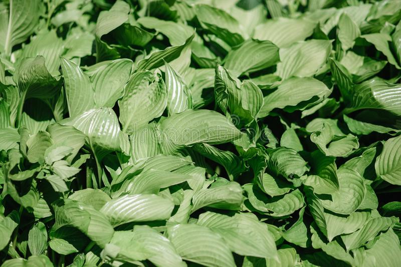 Green bush Hosta leaf. Nature background image. Beautiful. An ornamental plant for landscaping. Park and garden design, closeup, foliage, gardening, spring stock image
