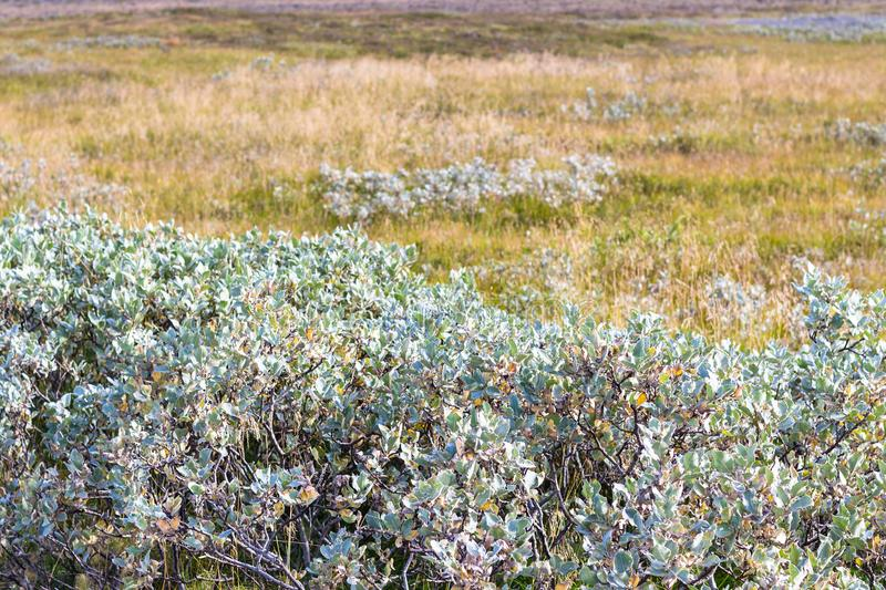 green bush on meadow in Iceland in autumn stock photography