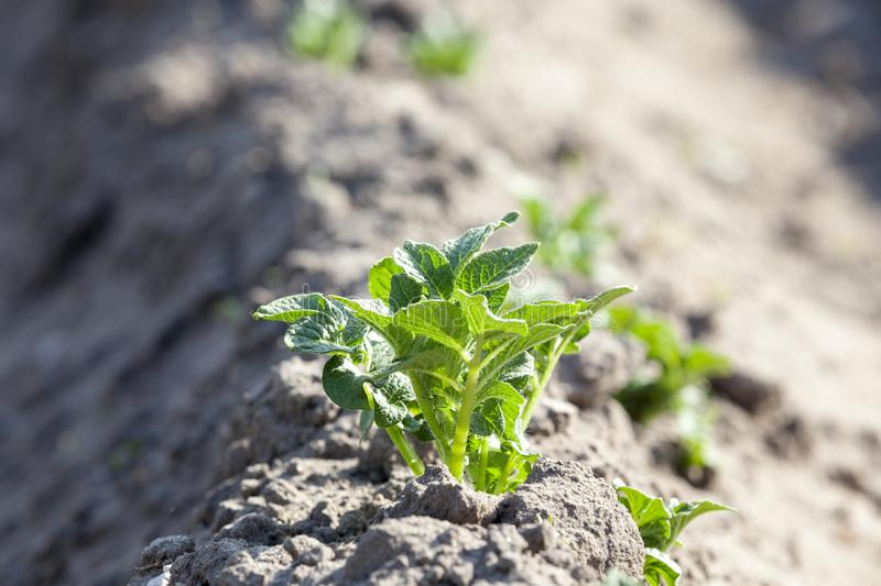 Green Bush of potatoes. A green bush of potatoes on a furrow. Photo close-up of a spring in the daytime. Agricultural field stock image