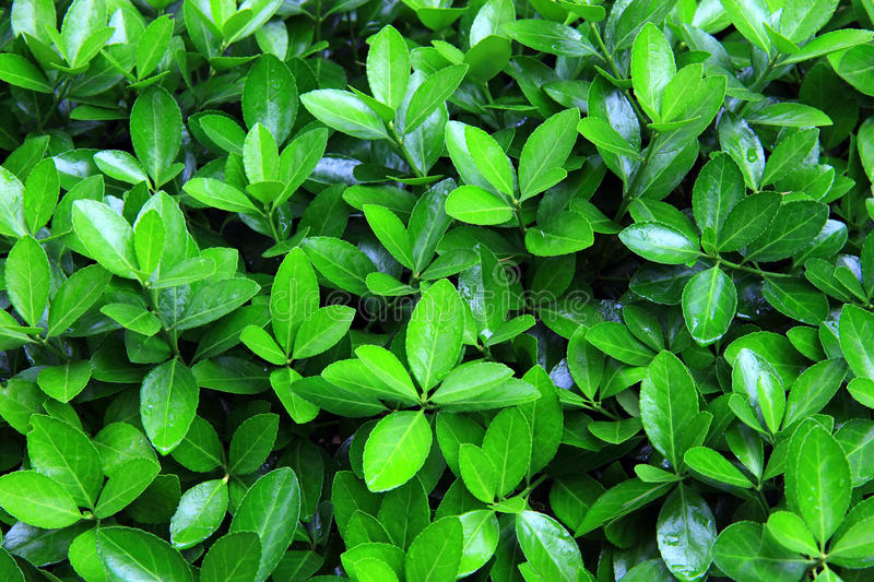 Download Green bush after rain stock image. Image of natural, background - 19516799