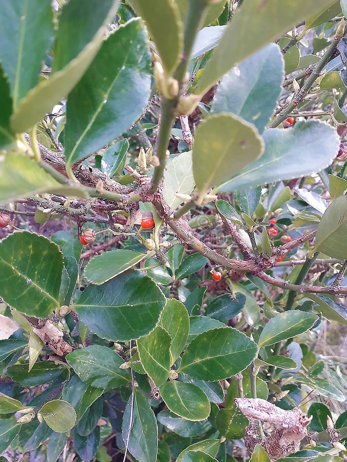 Green bush with red berries royalty free stock photography