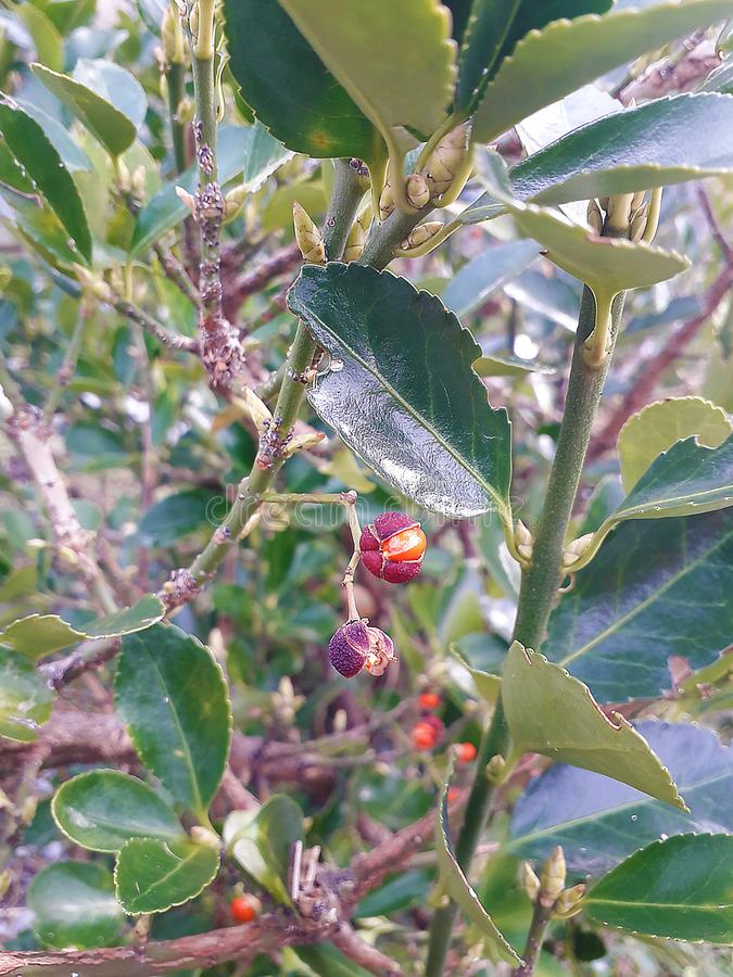 Green bush with red berries royalty free stock images