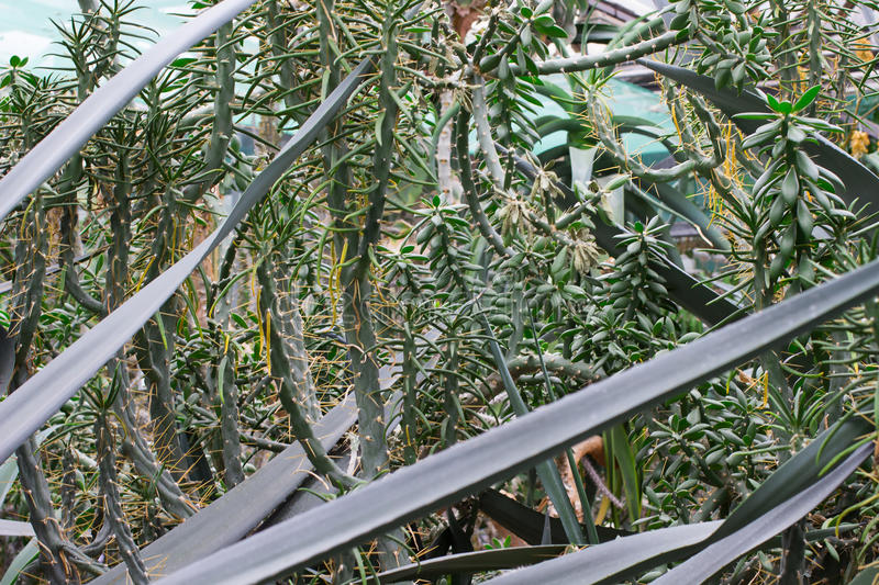 Green bushes agave. Close up royalty free stock photography
