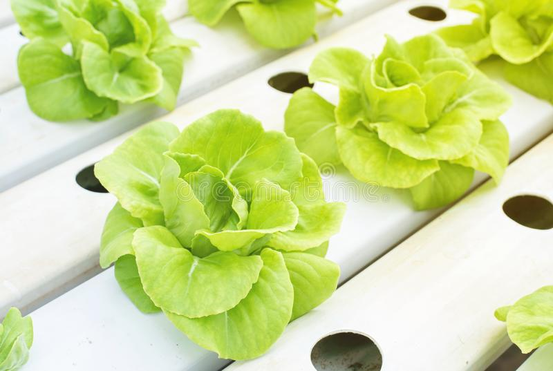 Green butter head vegetables planted by hydroponic plantation,Close up Butterhead Lettuce plant for salad, hydroponic vegetable le. Aves stock images