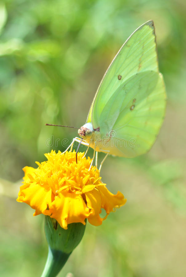 Free Green Butterflies On Marigold Royalty Free Stock Images - 45813089