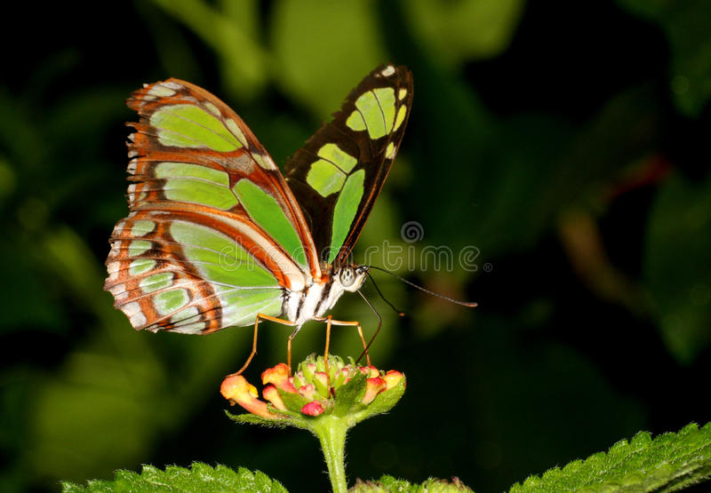 Download Green butterfly stock photo. Image of malachite, invertebrates - 19079962