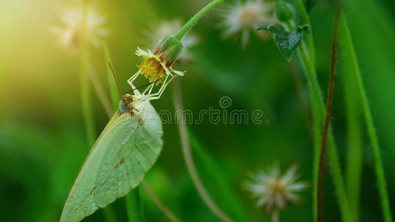 Green butterfly are finding for nectar from flowers with sunset in evening.  stock images