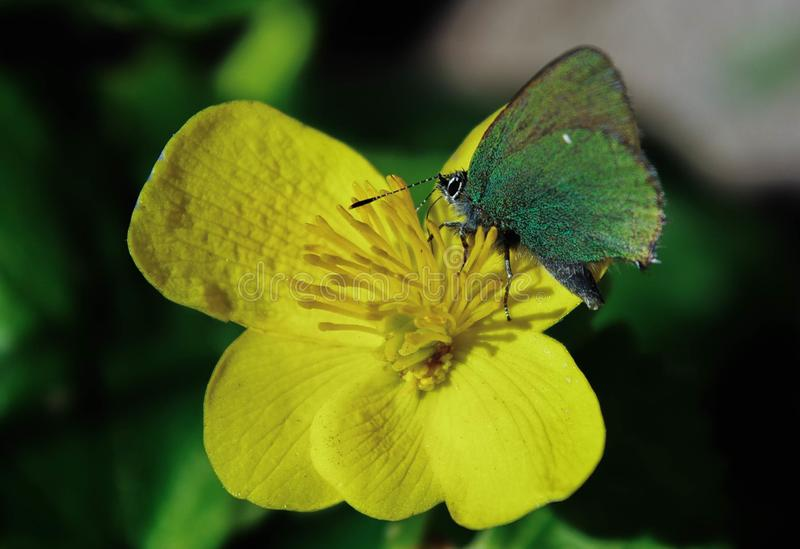 Green Butterfly on Rapeseed Flower stock image