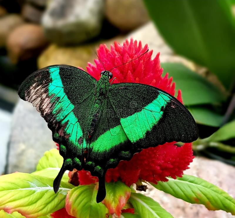 Butterfly in green color on red flower royalty free stock images