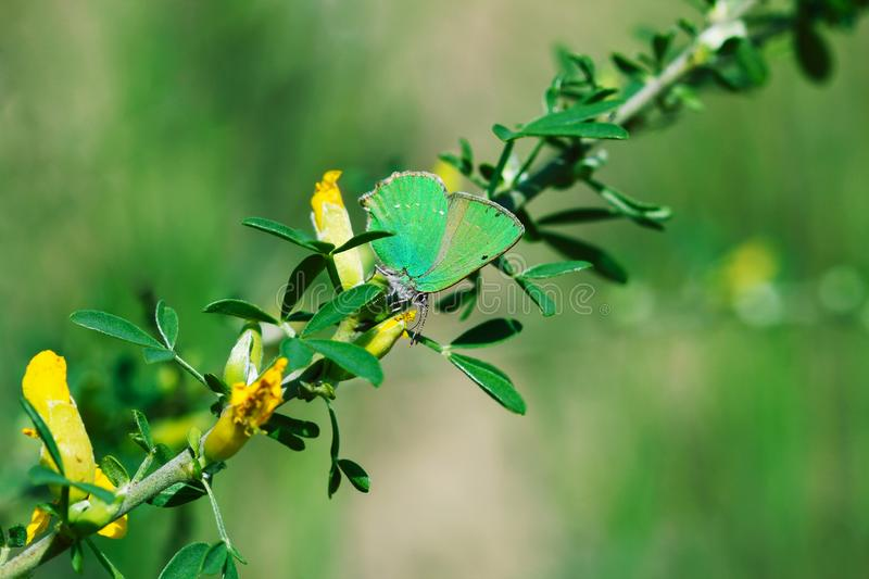 Green butterfly sitting in the grass, macro royalty free stock photography
