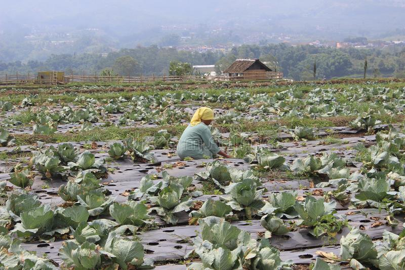 Green Cabbage Field In East Java Indonesia royalty free stock photos