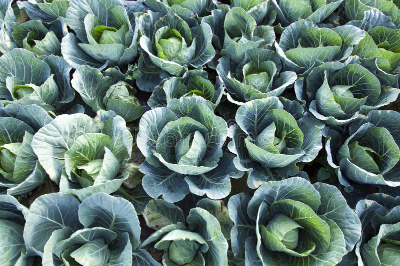 Download Green Cabbages Background Royalty Free Stock Photos - Image: 27113208