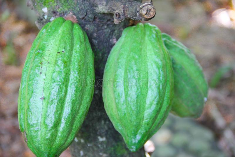 Green cacao fruit pod chocolate tree close up royalty free stock images