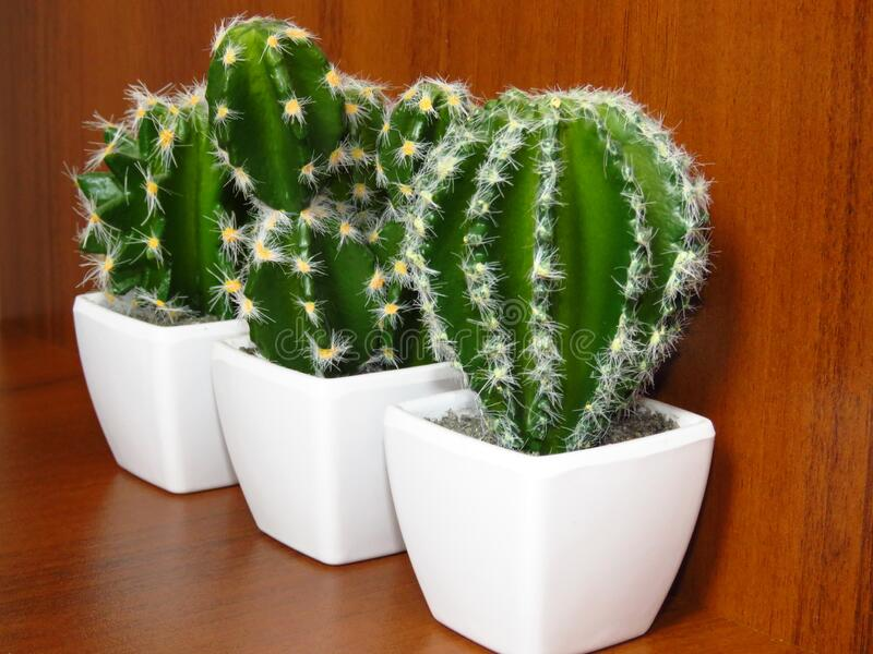 Green cacti / cactuses in white pots on brown wood background. Cactus is a member of the plant family Cactaceae. Various Cactaceae wallpaper stock photos