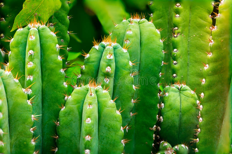 Green cactus. With stacked focus and dual-ISO technique royalty free stock photos