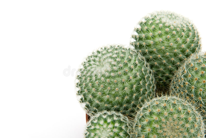 Download Green cactus stock image. Image of thorn, herb, macro - 5961463