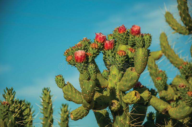 Green cactus bush with colorful flowers royalty free stock photography