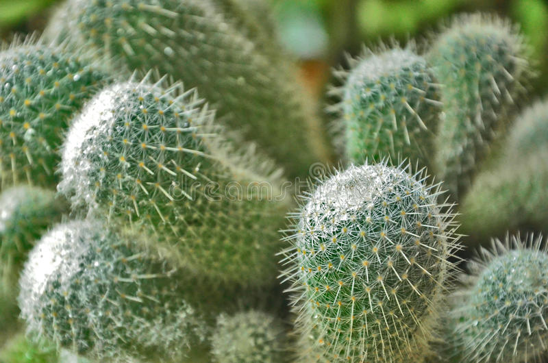 Green cactus close up. White protection pricker of green cactus stock photo