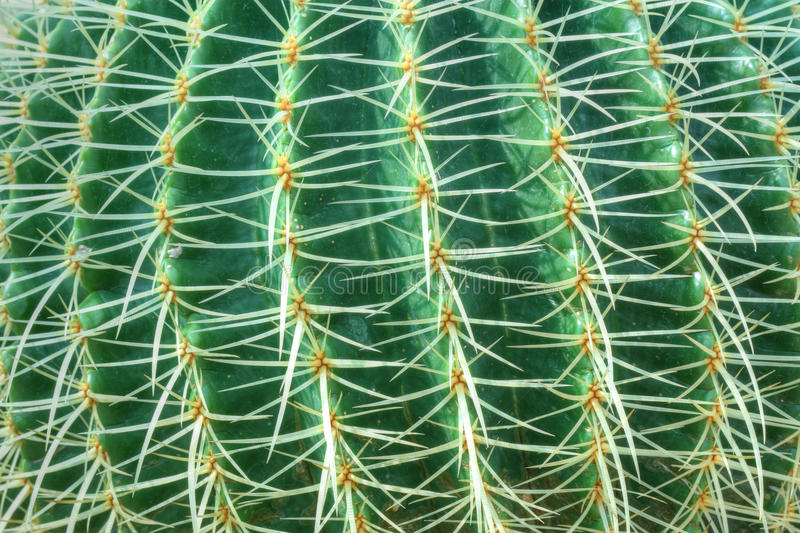 Green cactus with long thorns royalty free stock photos