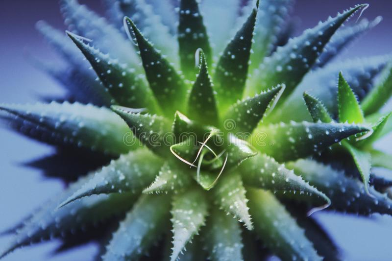 Green cactus macro purple filter. Green cactus macro day light purple filter stock image