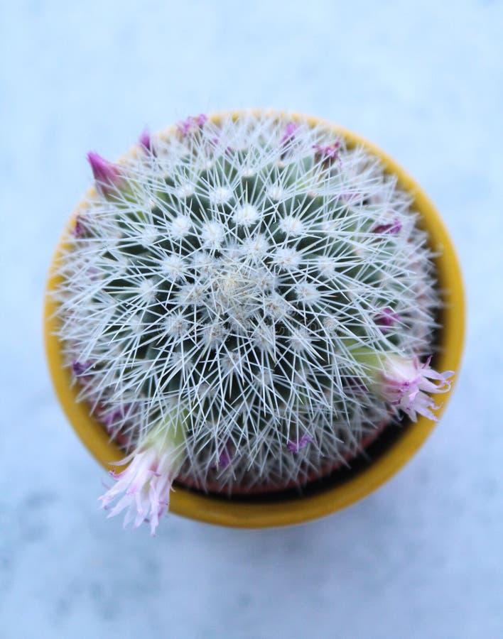 A green cactus royalty free stock photos