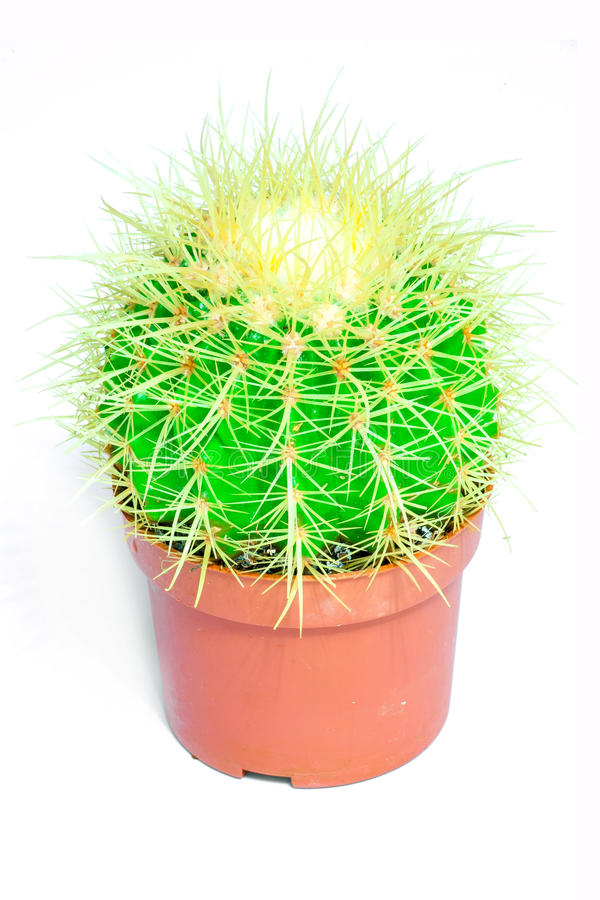 Green cactus with needles in a red pot on a white background. Isolated. Green cactus with needles in a red pot on a white background stock images