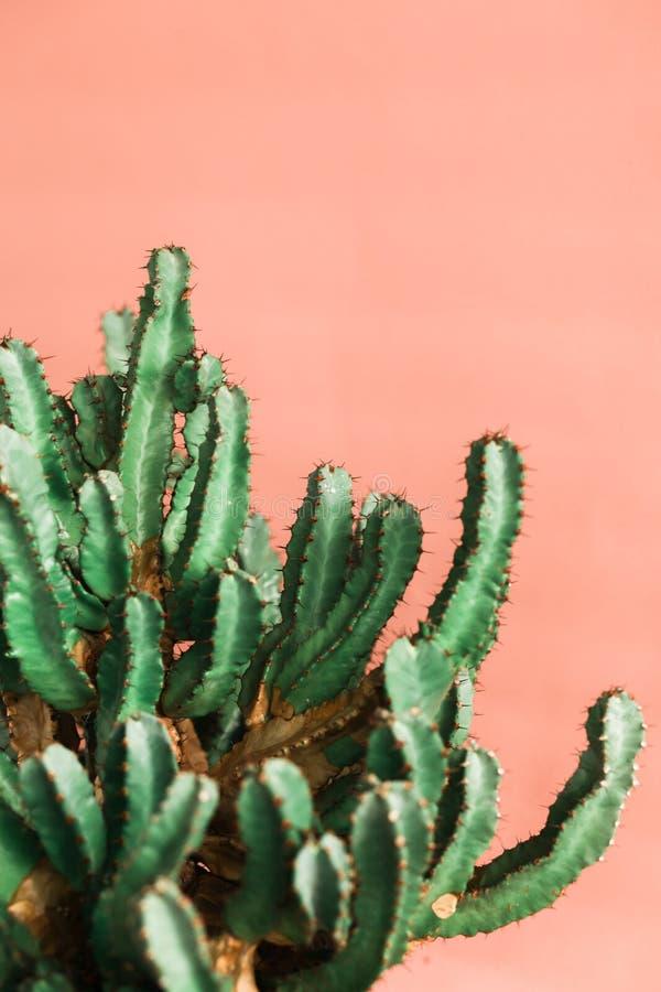 Green Cactus on the orange background natural light. Green Cactus on the pink background natural lightMinimal creative stillife royalty free stock photo