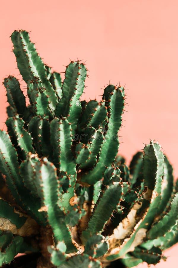 Green Cactus on the orange background natural light. Green Cactus on the pink background natural lightMinimal creative stillife royalty free stock images