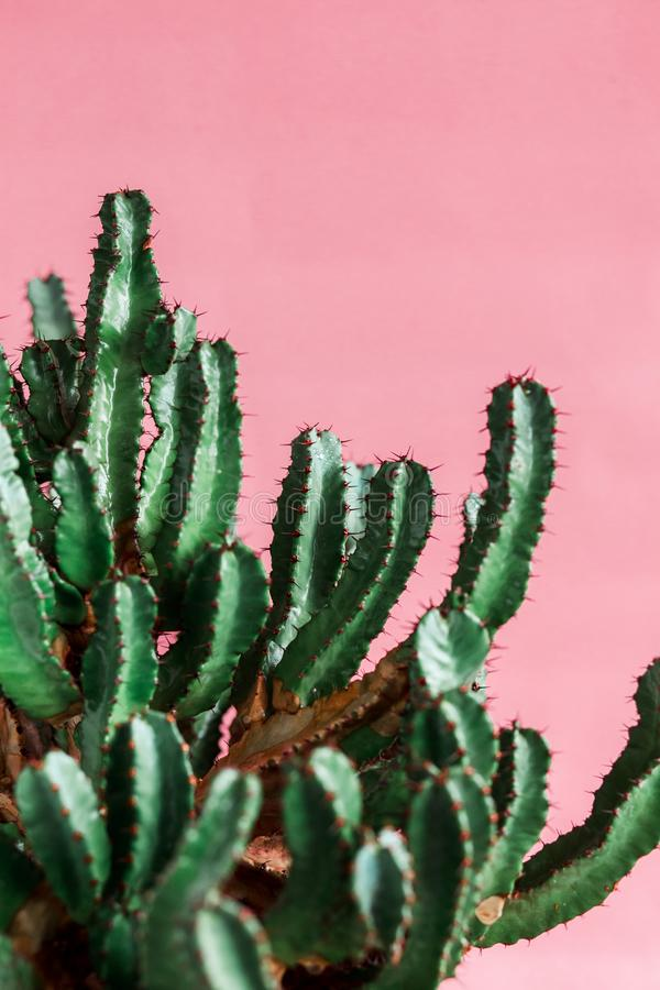 Green Cactus on the pink background natural light. Minimal creative stillife royalty free stock image