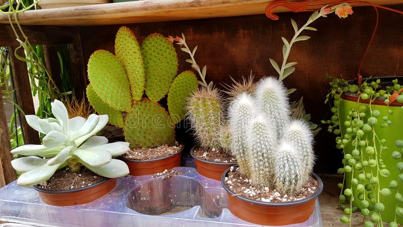 Pots with small cacti .succulent plants. Green cactus plants on the market stock images