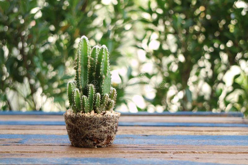 Green cactus show root in pot shape on wooden table stock photography