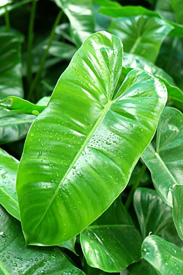 Green caladium blade royalty free stock photos