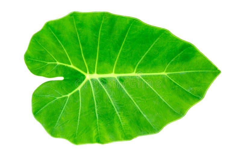 Green Caladium leaf,Elephant Ear royalty free stock photos