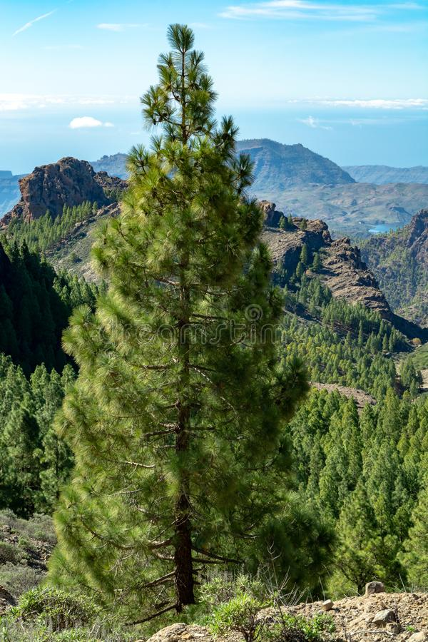 Green Canarian pine tree and Mountains landscape on Gran Canaria island, Canary, Spain royalty free stock image