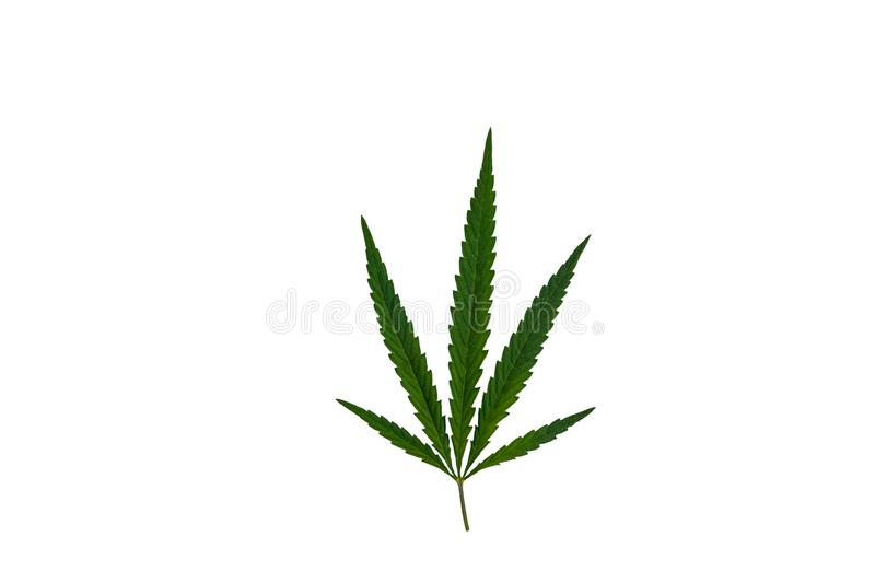Green cannabis leaf isolated on white background. Green cannabis leaf isolated on a white background stock images