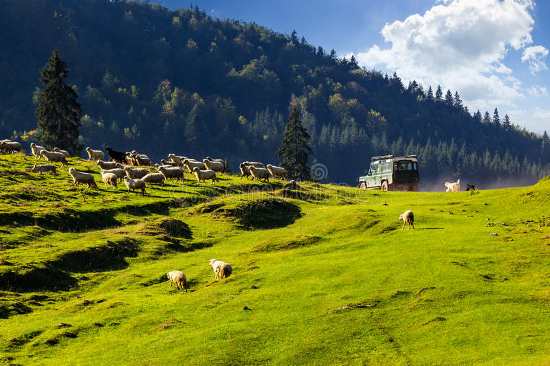 Green car passed near flock of sheep on the meadow. Green car passed by and frighten flock of sheep on the meadow near the fir forest in mountains of Romania royalty free stock photography