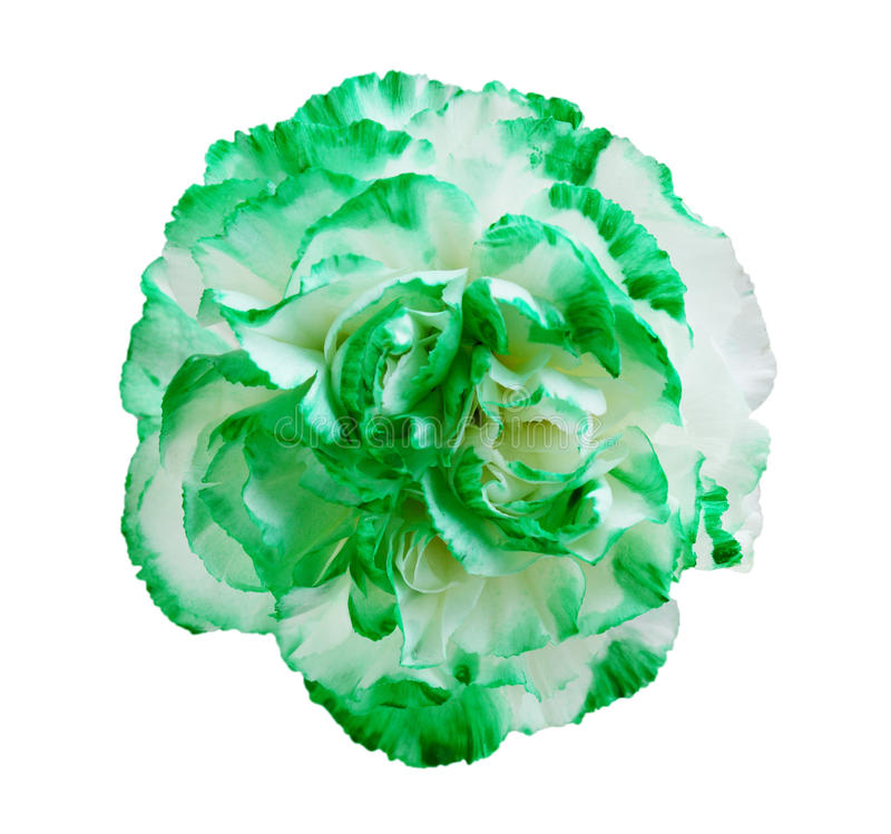 Green Carnation Flower stock photography