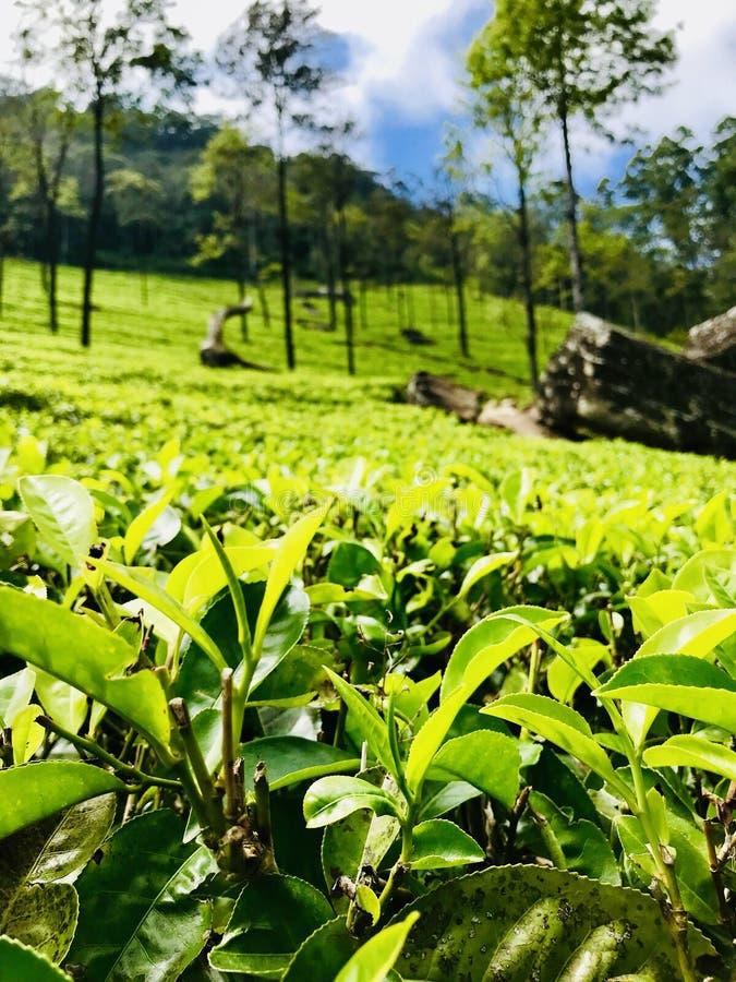 Green carpet: ceylon tea royalty free stock photos