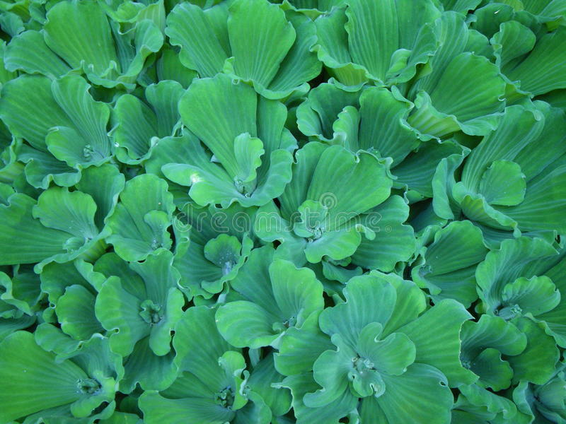 Download Green Carpet Of Water Lettuce Stock Photo - Image: 21338566