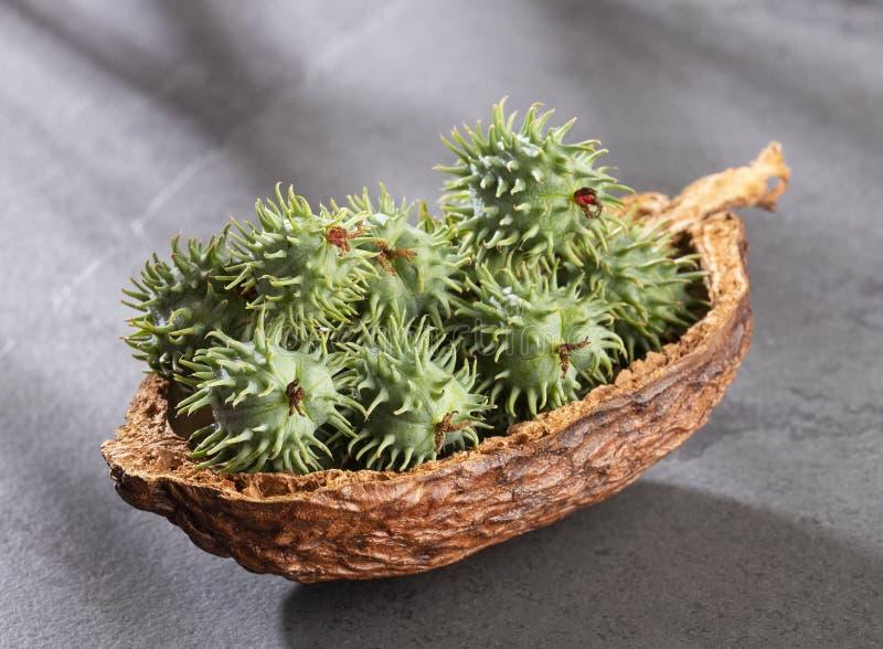 Green castor seeds - Ricinus communis. Top view royalty free stock photos