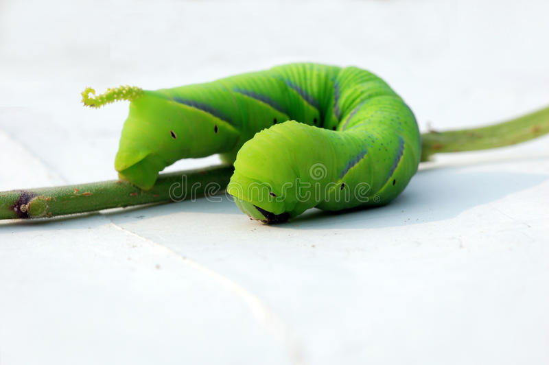 Green caterpillar. A big green caterpillar on white background royalty free stock images