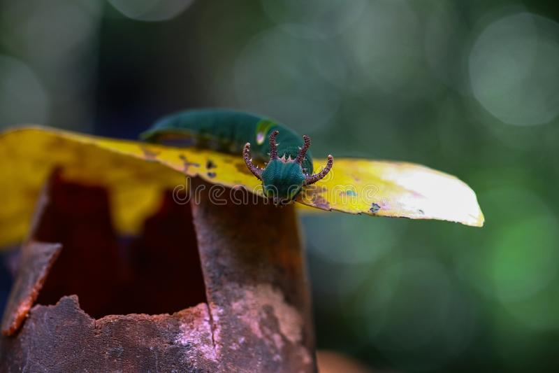 Green Caterpillar larva with horns is looked like dragon royalty free stock photo